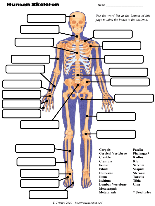 Human Skeleton Chart Template The Science Spot T Trimpe 2010